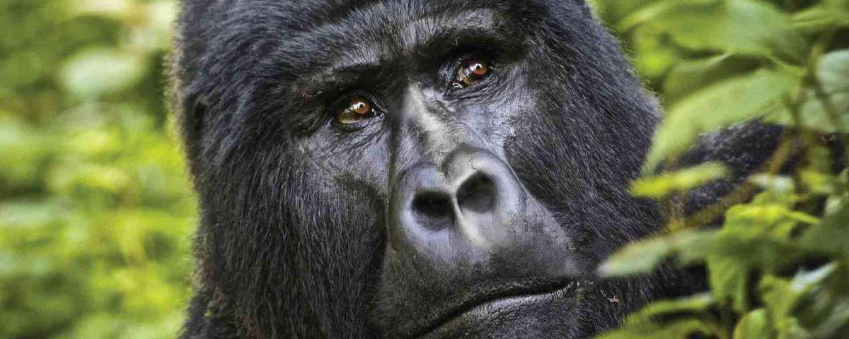 East Africa Gorilla Safaris