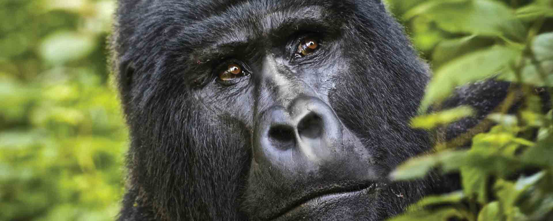 East Africa Gorilla Safaris