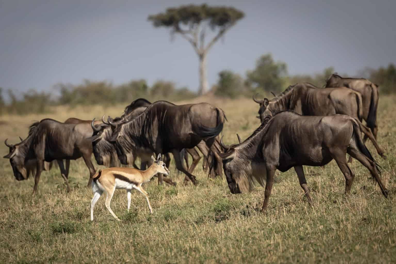 Wildebeest migration while on our 4 days Masai Mara safari