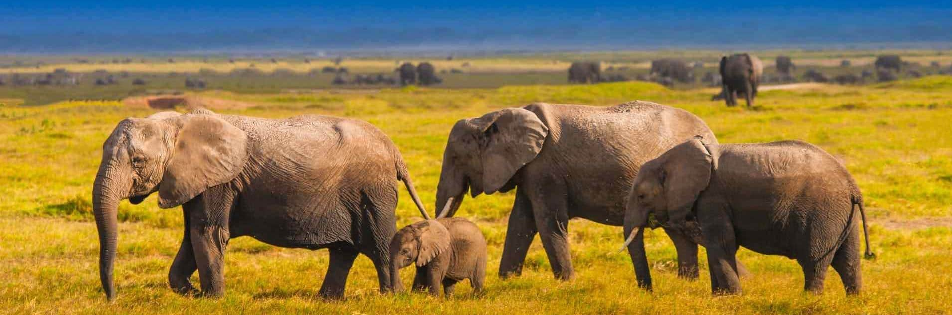amboseli national park elephant herds in Kenya and Tanzania combined safari