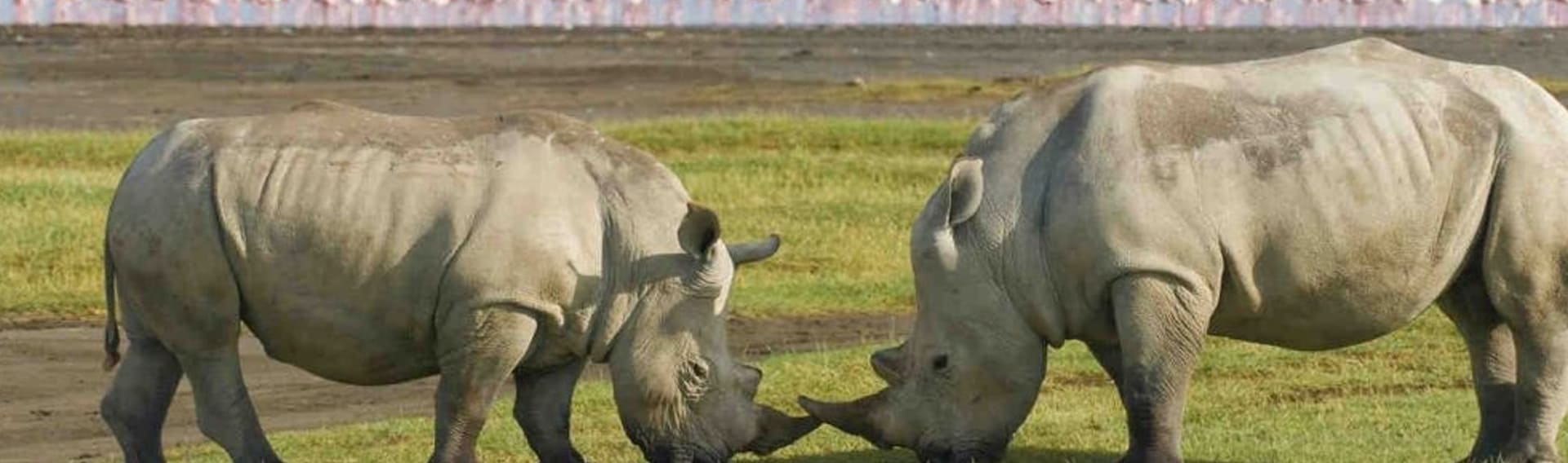 Rhinos in lake Nakuru National park