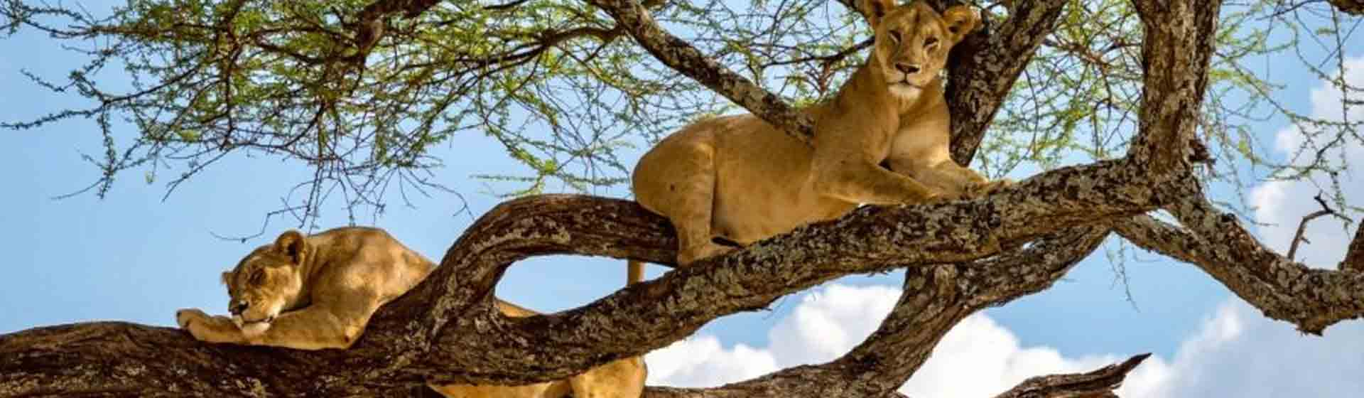 Kenya and Tanzania combined safari| tree climbing lions in Lake Manyara national park
