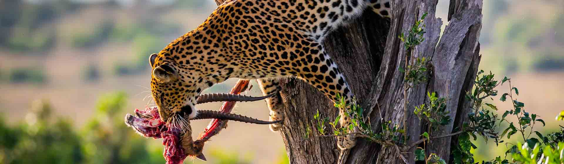 lake Nakuru cheetah hunting - Asili adventure safaris