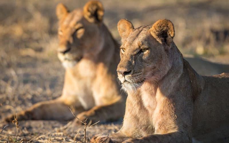 lionesses in Ol-pejeta conservancy