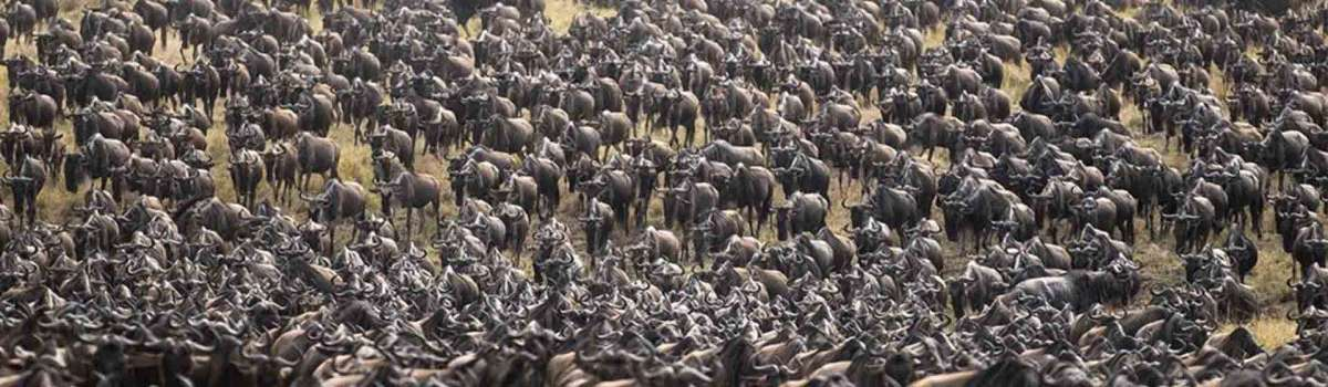 the great wildebeest migration in the Masai Mara Game Reserve
