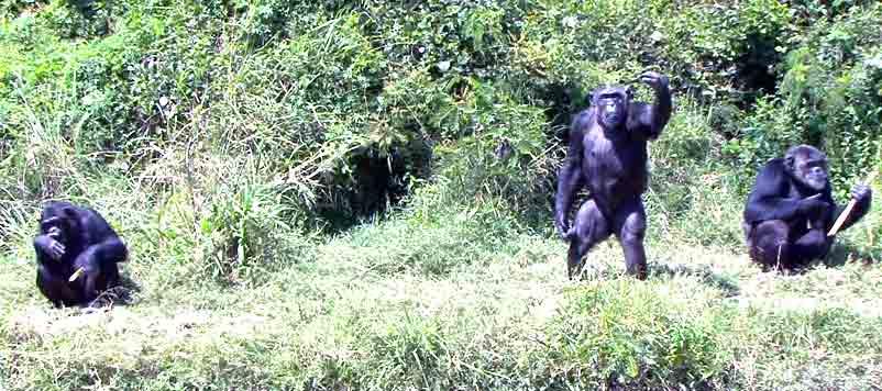 Chimpanzees in Ol Pejeta conservancy