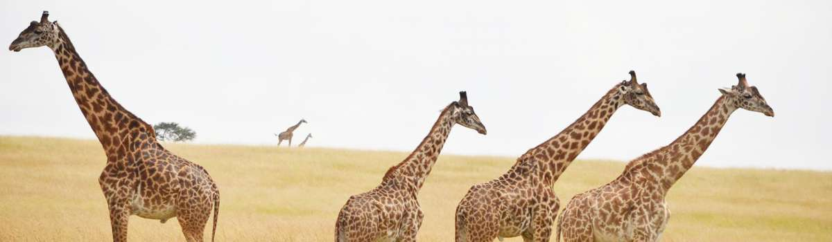 view Giraffe Family In masai mara national reserve with Asili Adventure Safaris