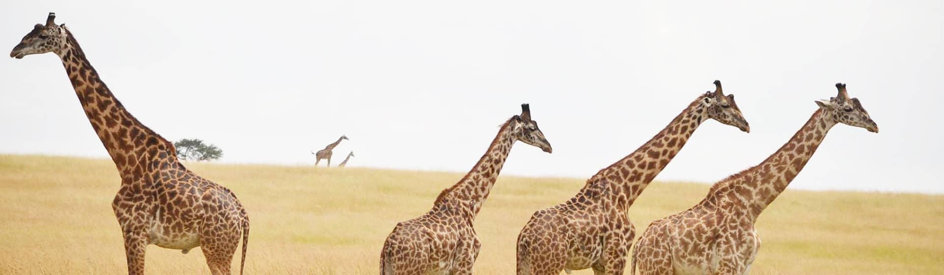view Giraffe Family In masai mara national reserve with Asili Adventure Safaris
