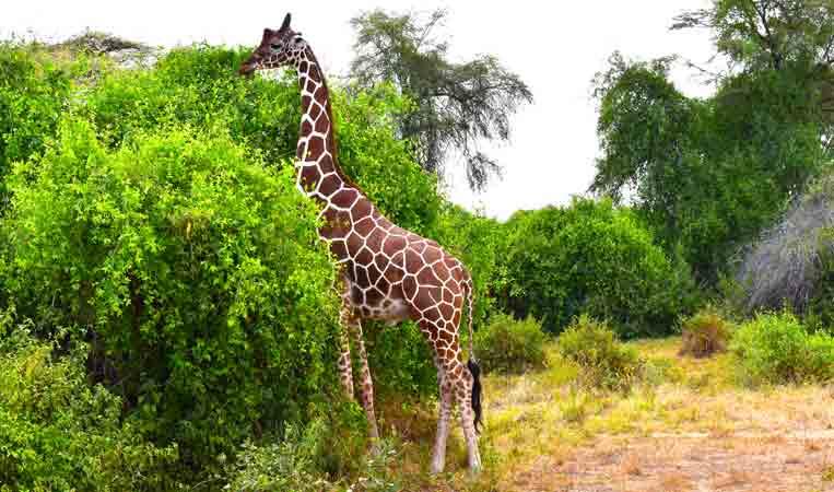 Reticulated giraffe in Samburu national reserve. game drives in Samburu national reserve