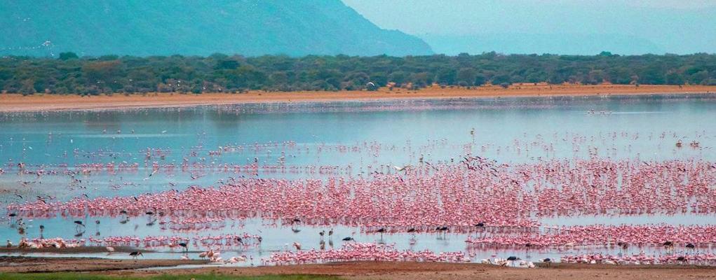 lesser and Greater flamingoes in Lake Manyara, Tanzania