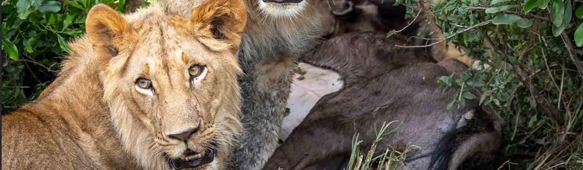 Lion killing a wildebeest in Masai Mara