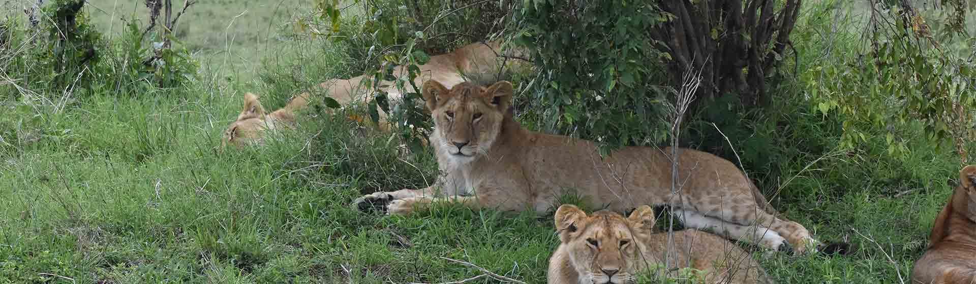 Masai Mara group joining safari