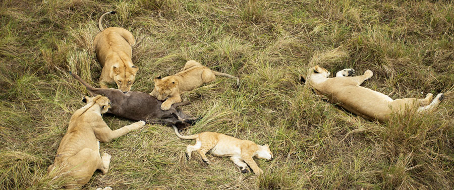 masai mara lions after eating