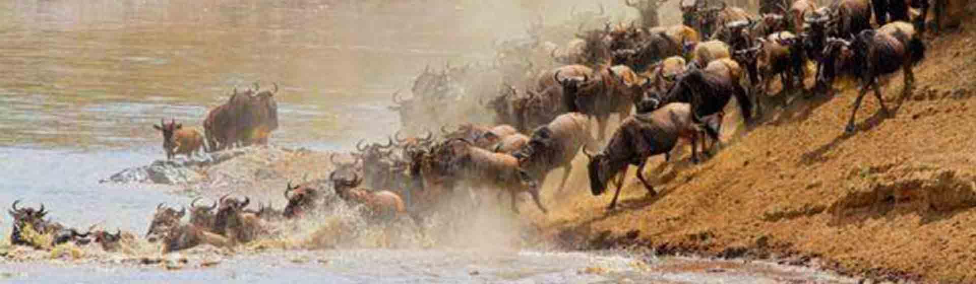 Tanzania Serengeti Wildebeest migration safari, Wildebeest calving safari
