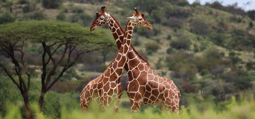 Reticulated Giraffes on Kenya and Tanzania safaris