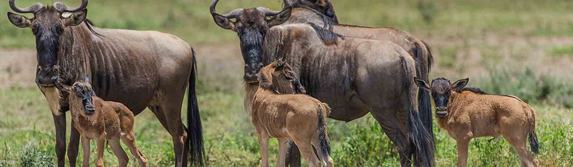 wildebeest calving in Southern Serengeti - Ndutu area