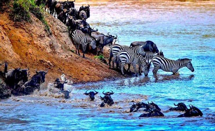 The great wildebeest migration Kenya