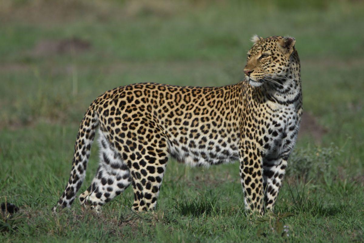 8 Days Best of kenya wildlife safari to Samburu Sweetwaters Aberdares ,Lake Nakuru National park and masai mara game luxury lodge safari